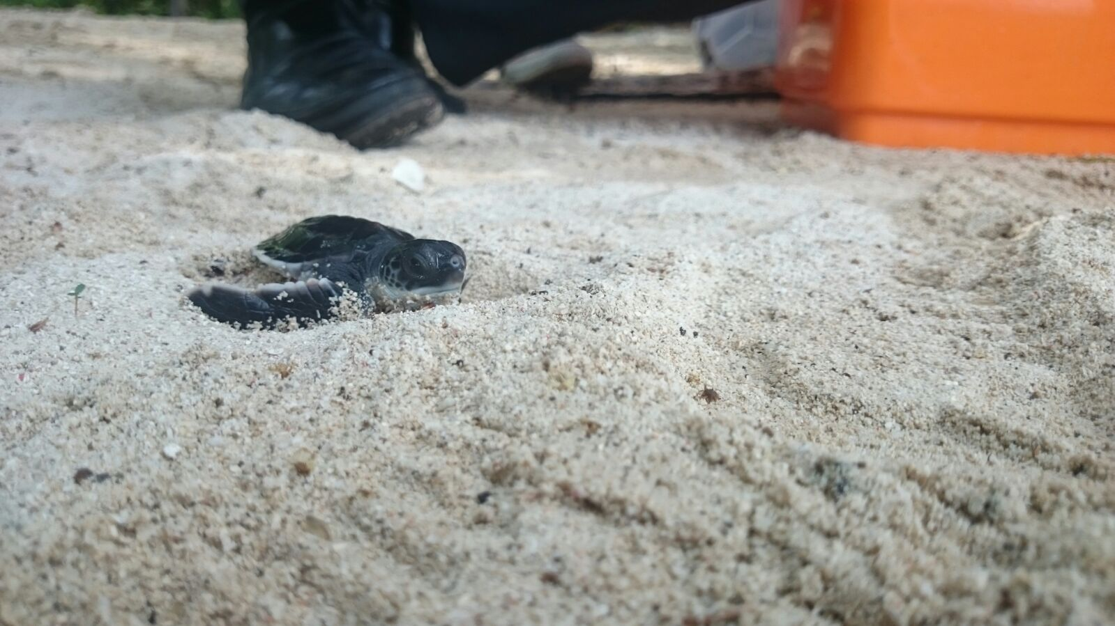 The release of Sea Turtle hatchlings!