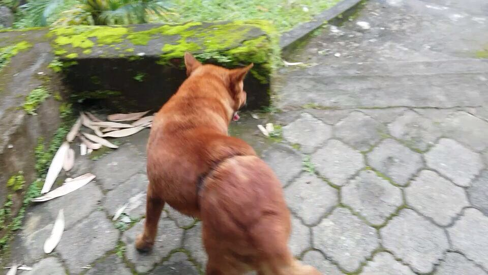 SAVE TRAPPY & MT. RINJANI DOGS