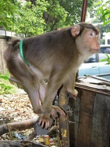 A report that got sent to us reporting this Monkey being tied by the waste with no shelter & smoking cigarets.